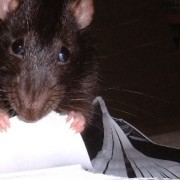Rat grugeant les documents